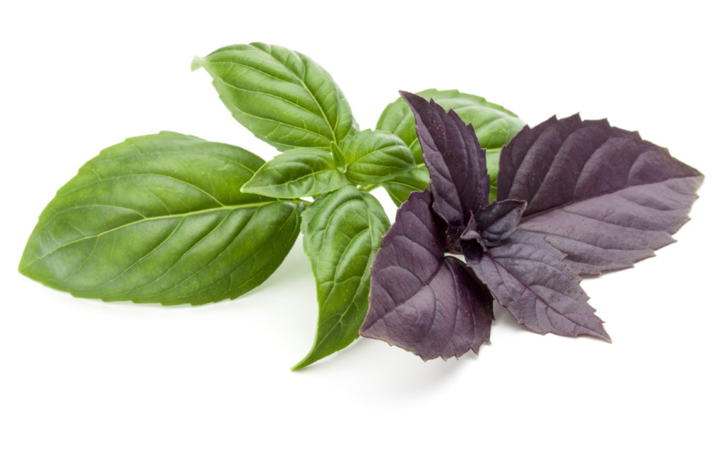 This image has an empty alt attribute; its file name is green-and-purple-basil-shutterstock_1153964290-1024x640.jpg